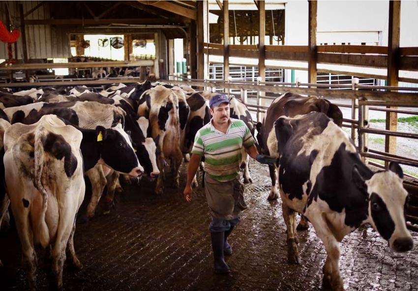 Let dairy die protest