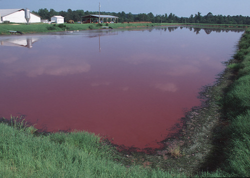 Manure lagoons, such as this one from North Carolina, are filled with excrement from concentrated animal feeding operations and can lethally contaminate water sources.