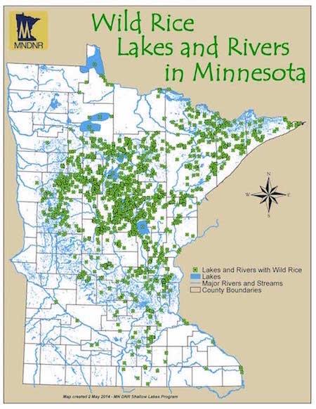 Extractive Economies Threaten An Ancient Grain In Minnesota